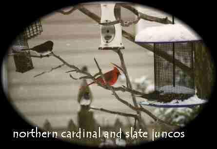 Cardinal-Junco